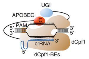 신규 유전자가위, 표적에 정확히 작동하는지 규명했다