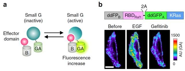 IBS 연구진이 개발한 small GTPase 단백질의 활성화를 보여주는 바이오센서는 기존의 청색광을 이용하는 광유전학과 파장이 겹치지 않아 관찰하려는 단백질의 활성을 조절하고 관찰할 수 있다(왼쪽). 연구진은 바이오센서를 통해 세포의 활성을 유도하자 오른쪽 그림 가운데처럼 small GTPase 단백질이 활성화됨을 실시간으로 보는데 성공했다.