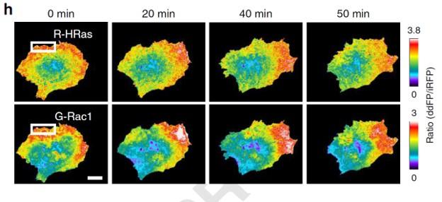 연구진은 유방암 전이 암세포 MDA-MB-231에 Ras small GTPase 바이오센서를 발현시키고 세포 내 형태 변화를 관찰했다. 청색광 유전학 기술로 유방암 세포의 이동방향을 시공간적으로 조절하자 세포 이동 방향이 Ras samll GTPase 활성화에 따라 공간적 기능(암세포 내 붉은 부분) 과 관련이 있음을 확인했다.