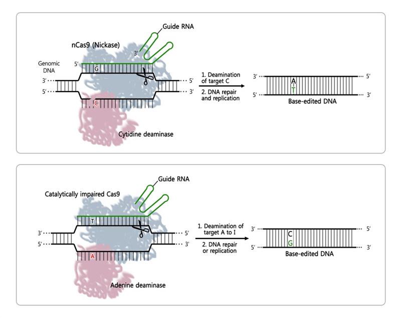 학계에 보고된 두 가지 종류의 염기교정가위의 모식도. 2016년에 학계에 보고된 시토신 탈아미노효소(cytidine deaminase)가 융합된 시토신 염기교정 유전자가위(위)는 DNA 서열 중 시토신(C)만 찾아 티민(T)으로 교체할 수 있다. 2017년 발표된 아데닌 염기교정 유전자가위(아래)는 아데닌 탈아미노효소(cytitdine deaminase)가 융합되어 서열 중 아데닌(A)만 찾아 구아닌(G)로 교체할 수 있다. 가이드 RNA가 표적 DNA에 결합하고 Cas9이 DNA의 한 가닥만 자르고 나면 그 사이에 탈아미노효소가 표적 DNA에서 아데닌(A)을 가수분해하고, DNA 복구 과정에서 이노신(I, 세포 내에서 시토신(C)과 결합)이 구아닌(G)으로 변형되는 원리다.