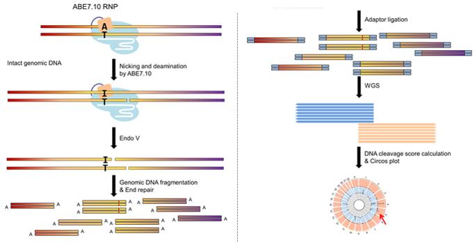 절단 유전체 시퀀싱 기법은 DNA 두 가닥 절단이 유도되어야 한다. 연구진은 이노신 염기만 특이적으로 자르는 효소를 사용했다. 아데닌 염기교정 가위가 DNA 한 가닥을 자르고, 다른 가닥의 아데닌(A)을 이노신(I)으로 바꾸면, Endo V 효소가 잘리지 않은 가닥의 이노신(I)을 절단해 DNA 두 가닥 절단 상태가 유지되도록 변형했다. 연구진은 절단 유전체 시퀀싱 기법을 진행한 뒤, 전체 유전체 시퀀싱 기법으로 아데닌 염기교정 가위의 정확성을 측정하는데 성공했다.