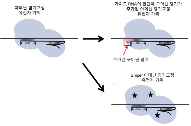 가이드RNA 말단에 구아닌 염기를 추가하거나 Sniper-아데닌 염기교정 가위를 만들면 표적위치에만 유전자가위가 작동하도록 정확성을 높일 수 있다.