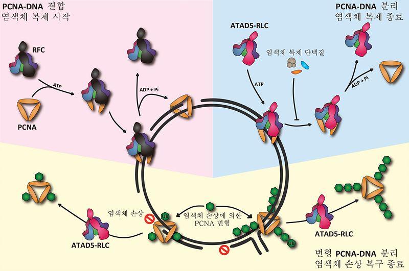 염색체 복제 및 손상 복구 과정에서 증식성세포핵항원(PCNA)과 DNA의 결합 및 분리 메커니즘을 한눈에 파악할 수 있는 모식도.