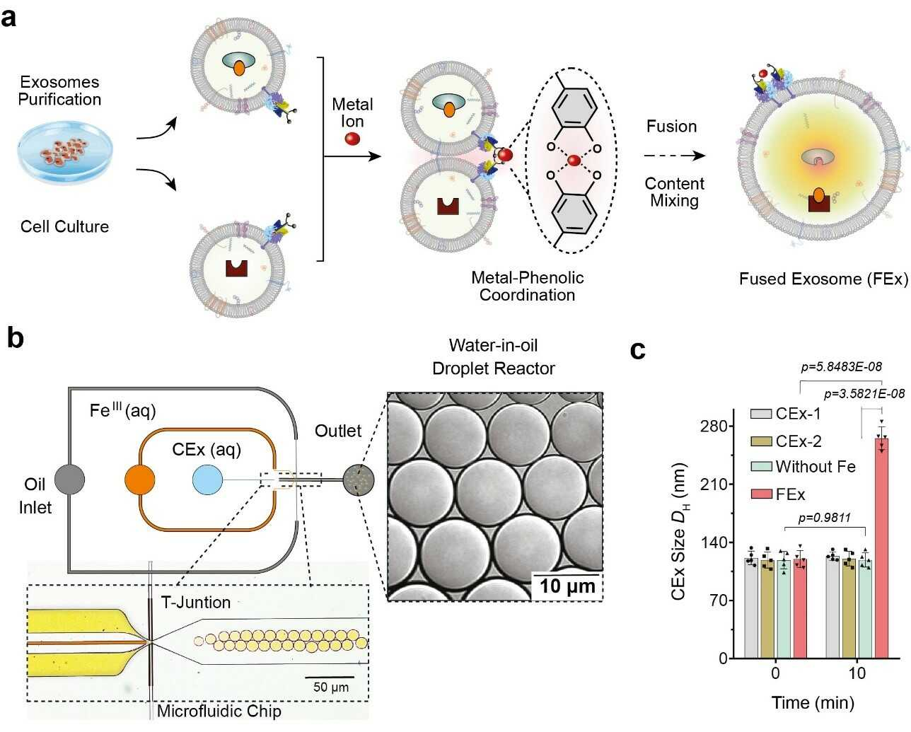 Figure 1. (a) Fe3+ ion triggers membrane fusion in exosomes tailored with catechol (CEx). The formation of a metal-catechol complex brings the exosomes into close proximity and enables fusion. Different reactants in each exosome are then encapsulated together, promoting mixing and triggering reactions inside the fused exosomes (FEx). (b) The microfluidic device designed for generating water-in-oil droplet reactors at the flow-focusing junction. The two aqueous phases (CEx and metal salt) meet and are delivered into the oil stream (1% surfactant PFPE-PEG in FC-40) to break the liquid into droplets. (c) Average size of unfused exosomes (CEx-1: 121 ± 8 nm, CEx-2: 123 ± 5 nm) and fused exosomes (FEx: 265 ± 14 nm).