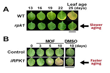 A Protein Trio Makes Leaves Age and Turn Yellow