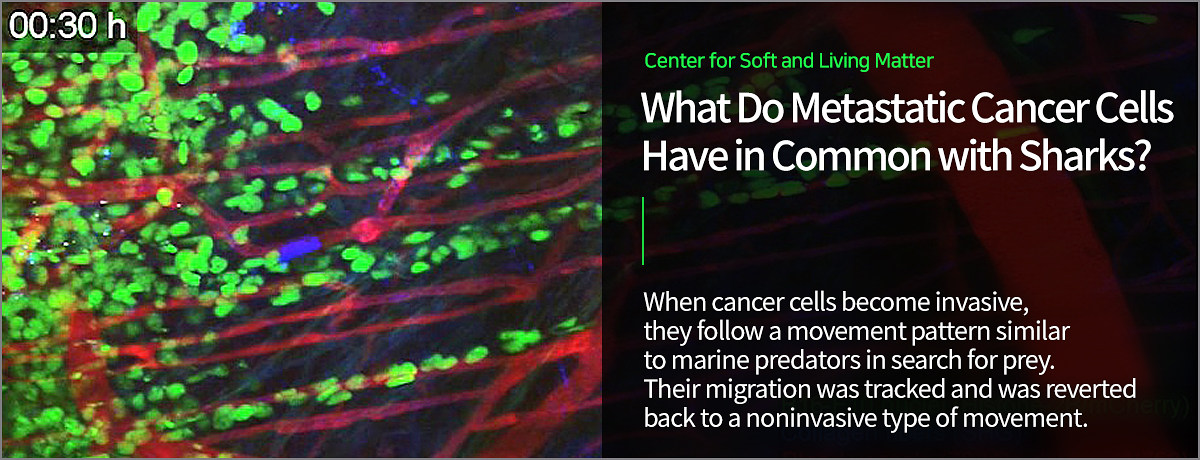 Center for Soft and Living Matter  What Do Metastatic Cancer Cells Have in Common with Sharks?  When cancer cells become invasive,  they follow a movement pattern similar to marine predators in search for prey. Their migration was tracked and was reverted back to a noninvasive type of movement.