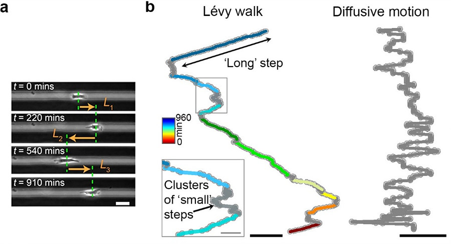 Figure 1: The movement pattern of cancer cells. (a) Cell migrating on a linear microtrack. (scale bar = 20 μm) (b) Metastatic cancer cells perform Lévy walk featuring trajectories with clusters of small steps interspersed with rare long strides. In contrast, non-metastatic cells perform diffusive movements with many small steps of similar lengths. Scale bar is 100 μm for Lévy trajectory and 20 μm for the inset. (Reproduced from Nature Communications).
