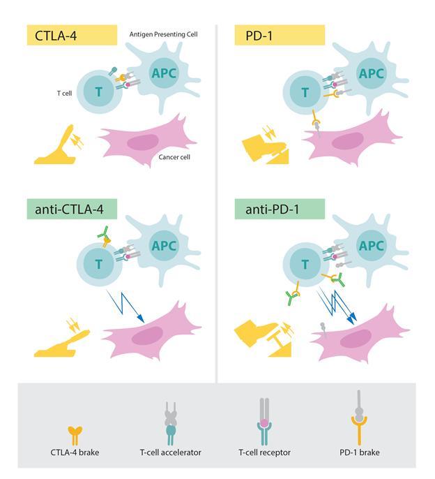 CTLA-4와 PD-1 단백질의 작동 원리 차이. (사진: 노벨상위원회)