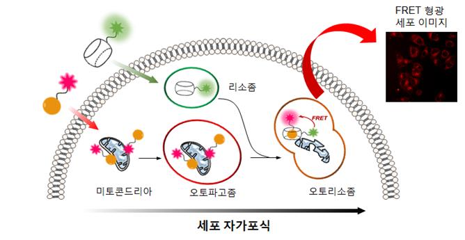 미토콘드리아에는 붉은 별모양 형광 분자를 단 아다만탄아민을, 리소좀에는 둥근 녹색 형광 분자를 단 쿠커비투릴을 붙인다. 리소좀의 자가포식이 시작되면 아다만탄아민과 쿠커비투릴이 결합하고, 이 과정에서 붉고 둥근 형광 분자가 새롭게 만들어진다. (사진: IBS)