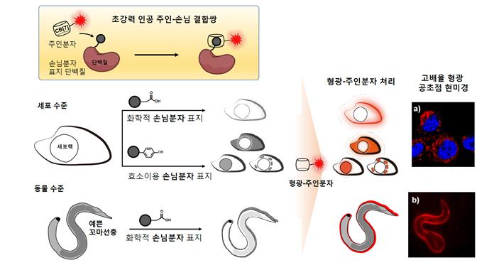 주인-손님 상호작용 결합을 이용하면 원하는 단백질에만 골라서 형광 염색을 할 수 있다. a)는 세포 수준에서, b)는 동물 수준(예쁜꼬마선충)에서 형광 염색을 진행했다. 빨간색이 쿠커비투릴-아다만탄 결합을 이용해 형광표지물질을 염색한 부분이다. (사진: IBS)
