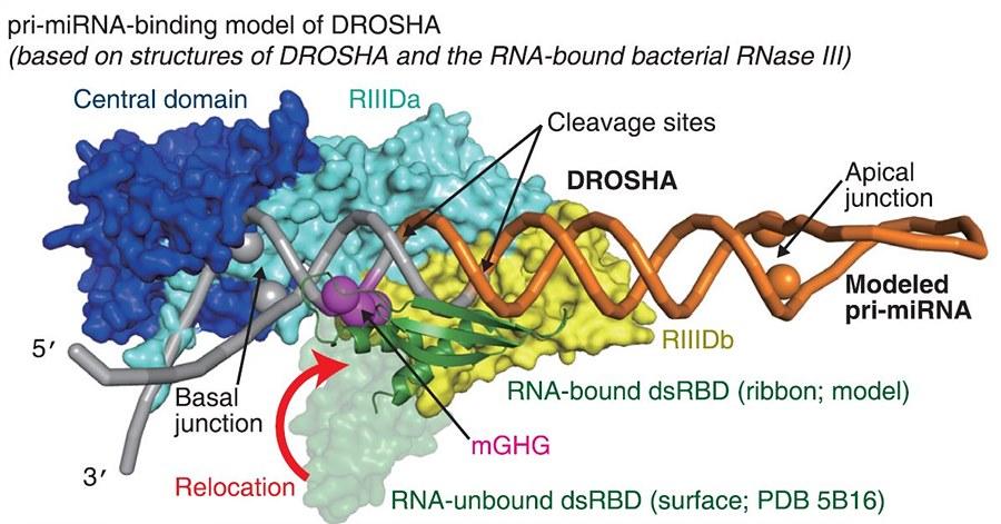 IBS 연구진은 마이크로RNA 1차 전구체(주황색과 회색으로 그려진 스프링 모양)를 절단하는 효소인 드로샤가 mGHG(보라색)의 도움으로 정확하게 절단 위치를 파악함을 실험으로 증명해 몰레큘러 셀 최신호에 실험결과를 게재했다.