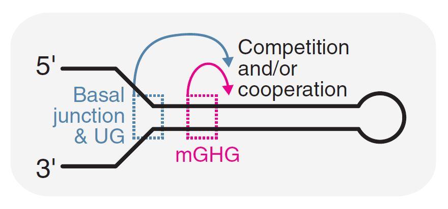 절단위치 결정 모델. 드로샤는 헤어핀 모양의 마이크로RNA 1차 전구체의 하단 부분(Basal junction & UG)과 mGHG 부분을 이용해 절단 위치를 결정한다.