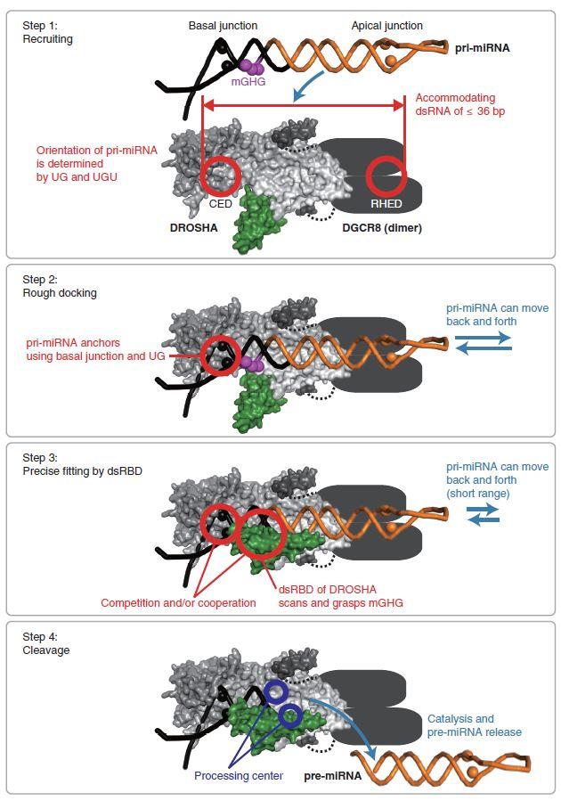 마이크로RNA 1차 전구체가 드로샤 복합체(드로샤-DGCR8)에 의해 인식되고 절단되는 과정을 총 4단계로 나누어 보여주는 모델. 마이크로RNA 1차 전구체가 드로샤 복합체로 가까이 와서(Step 1), 하단 부분(basal junction)을 이용하여 대략 결합한 후(Step 2), 드로샤의 이중가닥RNA 결합 도메인(dsRBD)이 mGHG를 잡아 마이크로RNA 1차 전구체의 위치를 결정하고(Step 3), RNA 절단 도메인(Processing center)이 RNA를 잘라서, 마이크로RNA 2차 전구체(pre-miRNA)를 생성한다(Step 4).