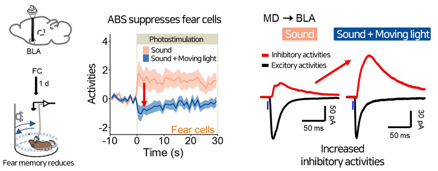 Figure 3 ABS inhibited fear-expressing neurons in the BLA.