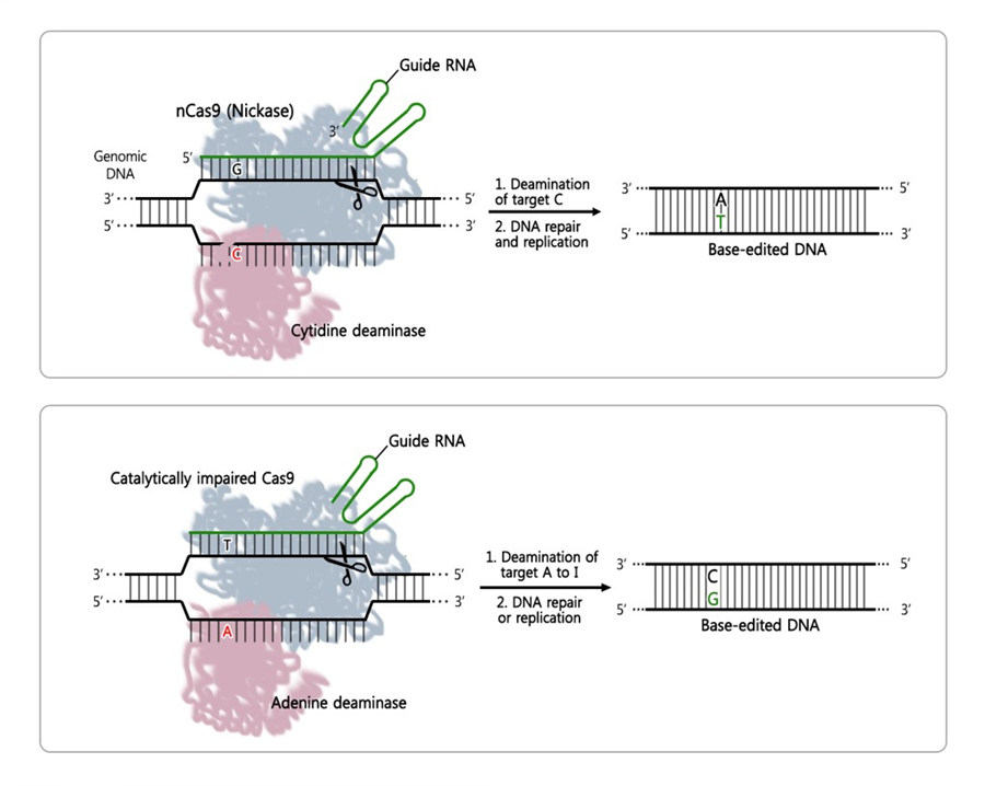 Figure 1: Principle of DNA base editors based on CRISPR. Cytosine base editors (CBE, top) induces C-to-T conversion, and the adenine base editors (ABE, bottom) causes A-to-G conversion. They consist of a guide RNA (green), a Cas9 nuclease (blue) and a base editor (pink), which unite to form a ribonucleoprotein complex. The guide RNA binds the target side on the DNA, while Cas9 cleaves the DNA strand (scissors), and the base editor modifies the desired DNA base, or letter.