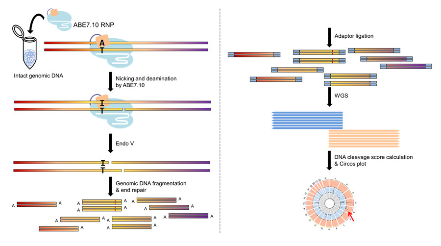 Figure 2: Overview of the Digenome-seq workflow after ABE-mediated single letter substitution. ABE7.10 (light blue, with guide RNA represented as white filament) induces the conversion of adenine (A) to inosine (I) at the target DNA site. Since I is read as G during DNA replication, this leads to the conversion of A to G. In addition, the complex also causes a DNA cut in one strand. As the Digenome-seq technique works by detecting double-strand breaks, the researchers used a protein known as Endo V to produce a cut in the other DNA strand, nearby the I. At the end of the Digenome-seq procedure, shown in the circular Circos plot, it is possible to evaluate and count the on-target (red arrow) and off-target (black bars) positions. The same results were obtained with hAAG and Endo VIII, in place of Endo V, showing Digenome-seq reproducibility and reliability.