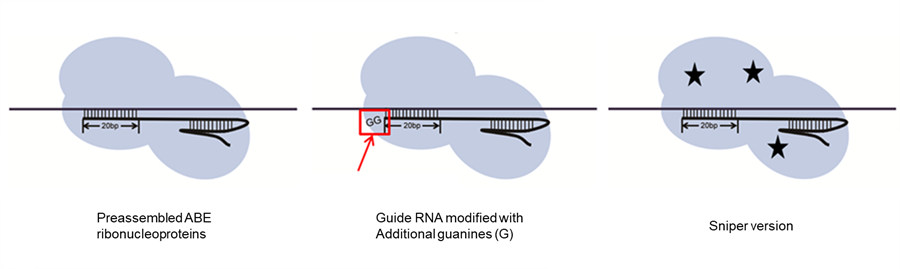 Figure 3: Improving ABE's specificity with preassembled ABE ribonucleoproteins, modified guide RNAs, and a different version of the DNA-cutting protein.