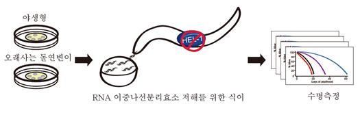 예쁜꼬마선충은 아주 우아하고 훌륭한 실험동물이다. IBS 식물 노화‧수명 연구단은 야생형 선충과 오래 살도록 만든 돌연변이 선충에 RNA 이중나선분리효소(HEL-1)가 어떤 영향을 미치는지 실험했다. (출처: IBS)