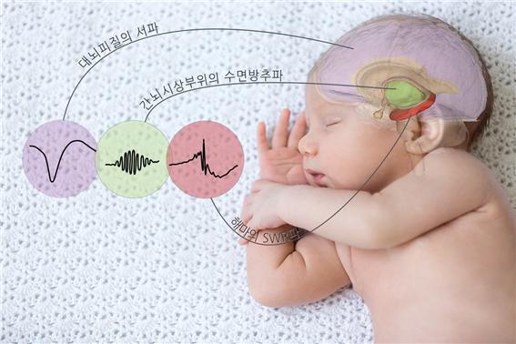 서파와 수면방추파, SWR파가 동시에 복합적으로 나올 때 기억은 장기 기억으로 잘 전환된다. 세 뇌파는 모두 잘 때만 나오는 뇌파다. 잘 자야 기억력도 좋아진다. (출처: IBS)