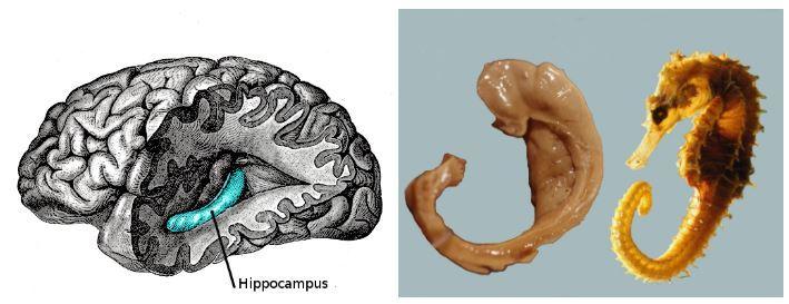 뇌에서 기억을 담당하는 부위인 해마(hippocampus)는 실제로 그 모습이 바다생물 해마(sea horse)와 유사해 해마라는 이름을 얻게 됐다. (출처: Wikimedia)