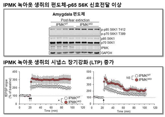 이노시톨 대사효소 제거한 생쥐의 편도체에서는 공포기억 소거를 위한 신호전달이 증가했다(위). 해마를 전기생리학적으로 분석한 결과, IPMK 녹아웃에 의해 시냅스의 후기-장기강화 현상이 더욱 강하게 유도됨을 알 수 있었다. (출처: 한국연구재단)