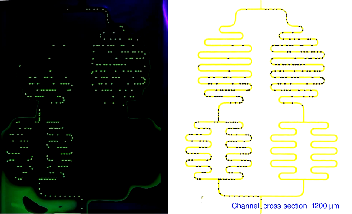 Video 1. Oscillations in networks of the same topology as in Fig1, with three different cross-section of channels. Original frames from experiments are shown side-to-side with false color images with improved visibility of channels (right).