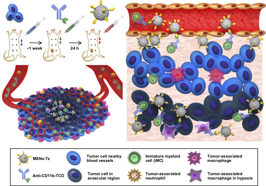 면역세포를 이용한 약물 전달 모식도. 클릭화학반응을 통해 면역세포와 결합된 나노입자는 종양 중심부까지 원활하게 이동한다.