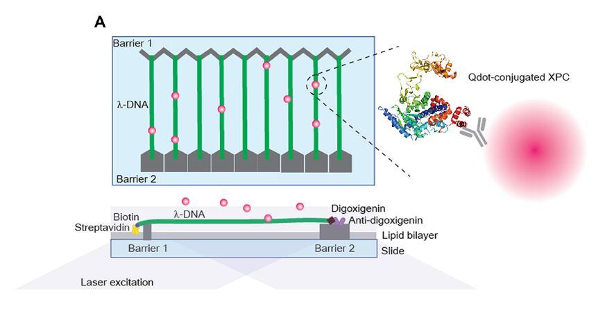 DNA 커튼 시스템의 모식도. 다수의 DNA가 나노 장벽 사이에 잘 배열되어 있으며, 형광체가 표지된 XPC-RAD23B를 넣어 DNA 위에서의 움직임을 형광 이미징으로 관찰한다.(출처 : UNIST)