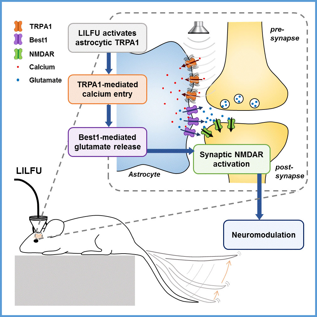 Figure 1 Schematic model for LILFU-induced neuromodulation