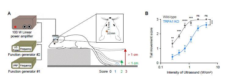 Figure 2 TRPA1 mediates LILFU-induced neuromodulation and motor behavior