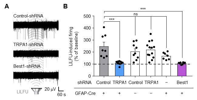 Figure 3 The gene-silencing of TRPA1 or Best1 abolished LILFU-induced enhancement of neuronal firing.