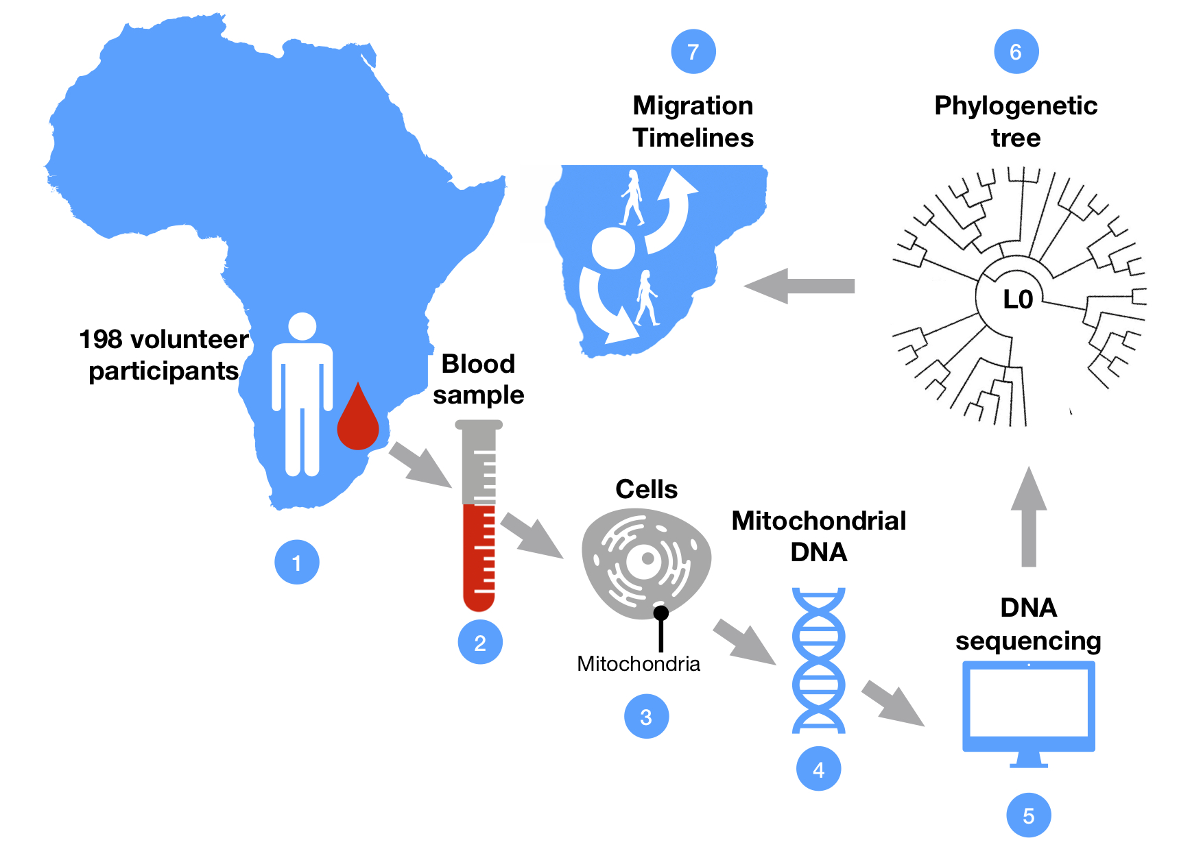 Figure 1: Reconstructing the phylogenetic tree of L0 sub-lineage from blood samples of volunteer study participants in Southern Africa. The L0 group represents the oldest branch of our common human genetic history. The genomic analysis is based on the DNA encapsulated in little structures (mitochondria) inside the cells. DNA sequencing from many individuals allows researchers to reconstruct the evolutionary tree of specific genetic lineages – in this case of the L0 group. Estimating the time of genetic divergence from the phylogenetic tree allowed researchers to reconstruct the timeline of past migration events.