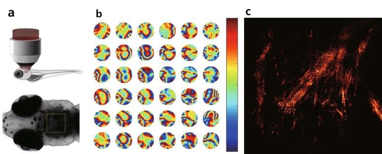 초고속/고해상도 홀로그램 현미경으로 제브라피시의 신경망을 관찰하는 모습(a). 연구진이 개발한 새로운 홀로그램 현미경은 복잡한 구조로 인해 일어나는 파면왜곡을 보정(b)하기 때문에 얽혀있는 미세한 신경계의 섬유구조까지 실시간으로 선명하게 관찰할 수 있다. (출처: IBS)