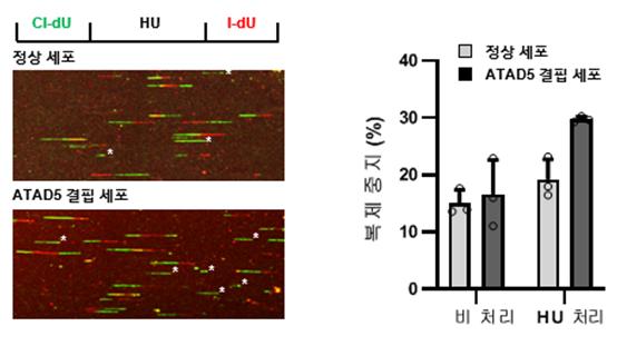 HU(Hydroxyurea)를 처리하여 세포 내 뉴클레오티드 양을 감소시켜 DNA 복제 스트레스 준 상황에서, ATAD5 결핍 세포의 복제 중지 비율이 비교적 높음을 확인할 수 있다.