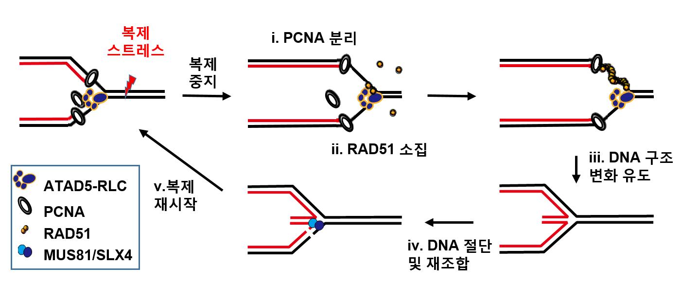 DNA 복세 스트레스 상황에서 ATAD5 단백질의 복제 재시작 조절 기작을 나타낸 모식도