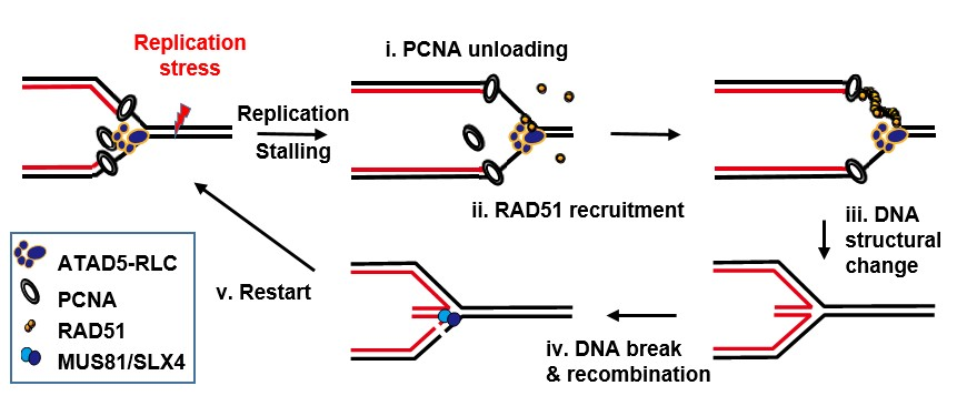 Figure 1. In the face of DNA reapplication stress, ATAD5 i) removes PCNA from the stressed DNA and simultaneously ii) recruits RAD51 recombinase through protein-protein interaction. Then iii) RAD51 wraps and transforms the DNA into a stable structure. Subsequently, iv) DNA is cleaved via MUS81/SLX4 and recombined, and v) DNA replication restarts. This process keeps DNA stable under replication stress and ensures entire replication is complete.