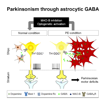 Figure 1 Reactive astrocytes in SNpc produce excessive GABA via MAO-B in animal models of PD. Aberrant tonic inhibition of dopaminergic neurons causes reduced dopamine production in neurons and motor deficits. The Parkinsonian motor deficits and reduced dopamine production can be recovered by MAO-B inhibition or optogenetic activation of SNpc neurons.
