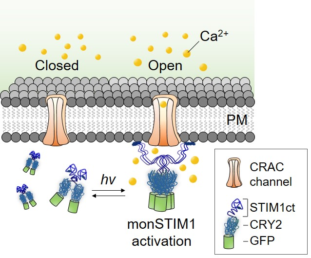 Figure 1. Schematic image of monSTIM1 working mechanism. Upon blue light illumination, this optogenetic tool opens calcium channels (CRAC channels), so that calcium (Ca2+) can enter inside the cells. It is formed by two parts: CRY2, and STIM1. CRY2 is sensitive to blue light, and STIM1 activates calcium channels. GFP produces green light and is added to allow the researchers to track monSTIM1 location.