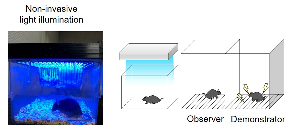 Figure 2. Observational fear learning in mice via non-invasive light stimulation. Blue light shone on the cage of the observer mouse triggers monSTIM1 activation, increasing Ca2+ signals in its brain, and behavioral changes. Compared to the controls without monSTIM1, the observer mouse shows an enhanced fear response while the demonstrator receives mild foot shock.