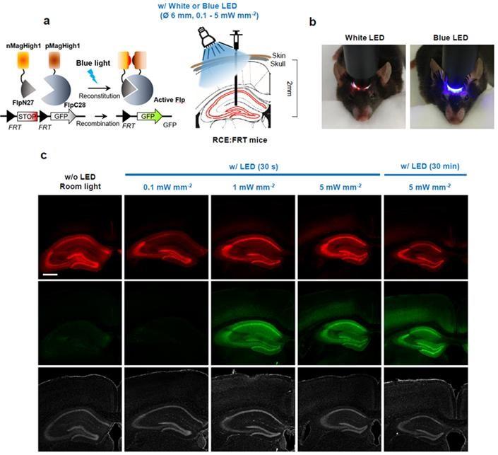 [그림 3] 기초과학연구원 인지 및 사회성 연구단이 발표한 빛을 이용한 뇌 유전자 발현 기술