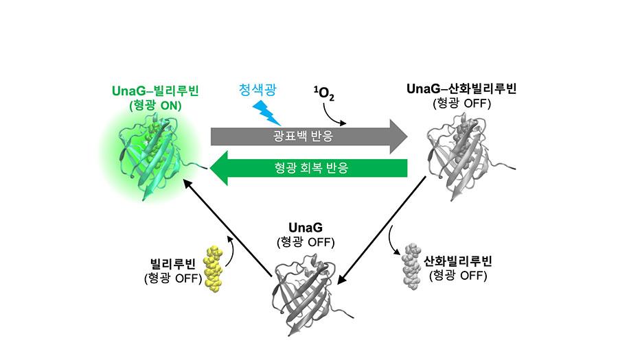 우나지 형광단백질의 광표백-형광회복 순환 사이클