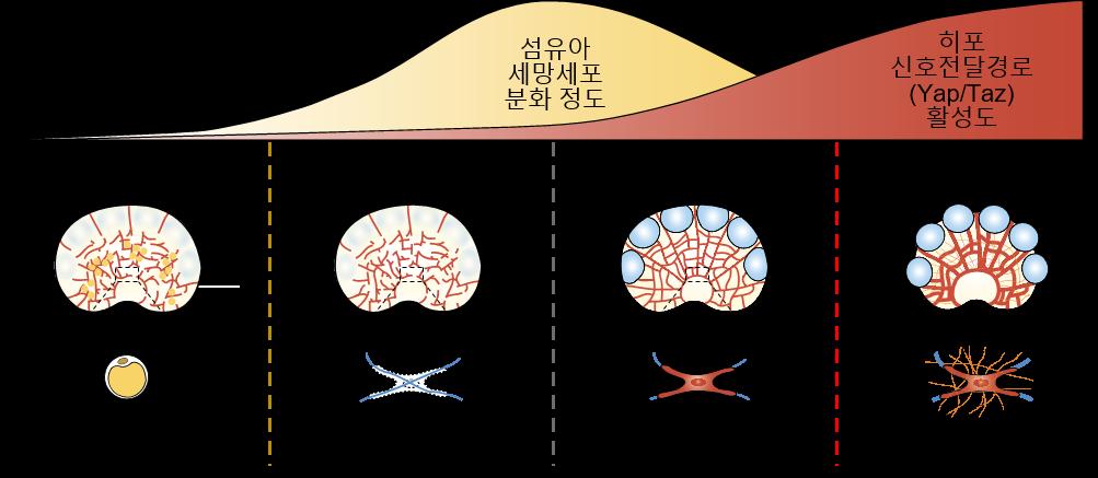 림프절 내 섬유아 세망세포의 분화 정도와 히포 신호전달경로의 연관성을 나타낸 모식도.