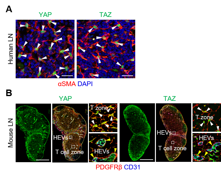 Figure 2: Expression of Yap/Taz in human/mouse FRCs.