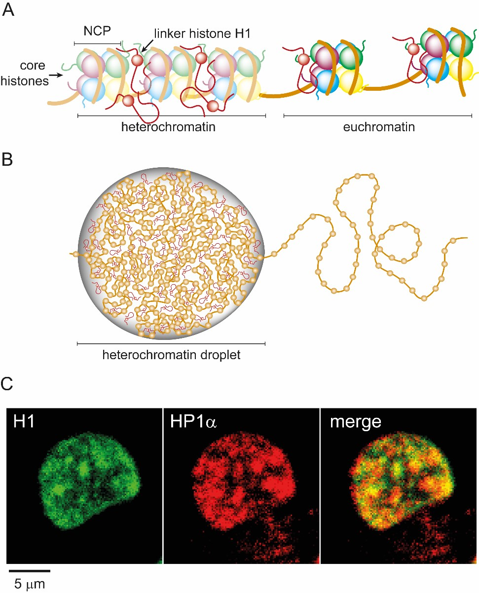 Figure 1 (A) Cartoon depiction of chromatin packaged into compact heterochromatin and loosely packed euchromatin. (B) The segregation of heterochromatin and euchromatin is mediated by liquid-liquid phase separation with linker histone H1. (C) Two-color fluorescent microscopy images of histone H1 and HP1α (a heterochromatin marker protein) showing co-localization of H1 and heterochromatin in liquid-like droplets within HeLa nuclei.