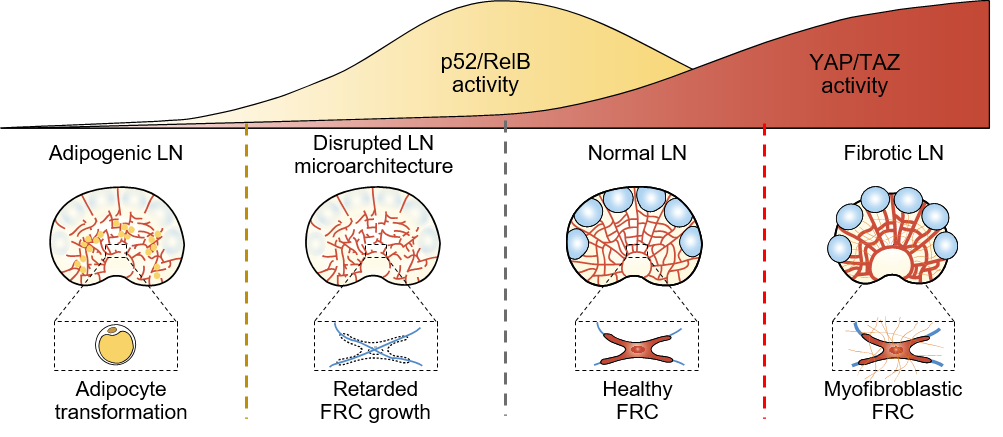 Figure 1: Schematic images proposing the importance of coordination of YAP/TAZ activity and p52/RelB activity during lymph nodes' growth and maintenance.
