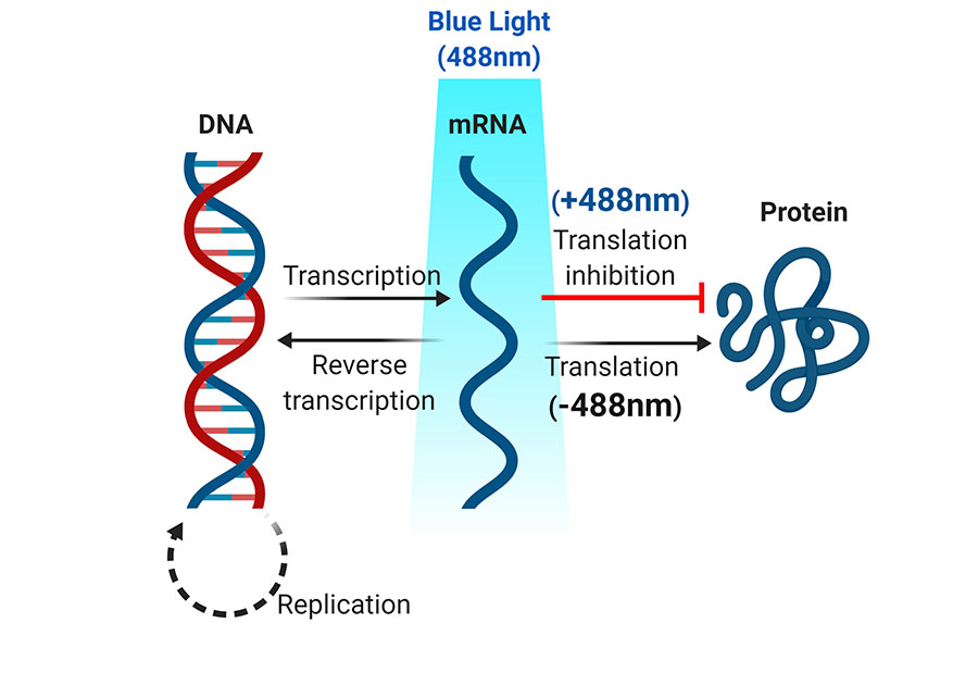Figure 1: Optogenetic inhibition of mRNA translocation and translation in living cells. Blue light inactivation of protein translation from mRNA and the level of protein production is reduced with spatiotemporal precision.