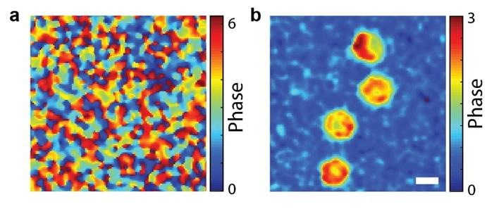 공간 게이팅 현미경(b)을 이용하면 일반 광학 현미경(a)으로는 산란광 때문에 관찰하기 어려웠던 적혈구를 뚜렷하게 관찰할 수 있다.