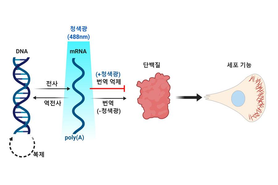 mRNA-LARIAT 광유전학 기술로 전령RNA(mRNA)의 이동과 단백질 합성을 조절하는 모식도.