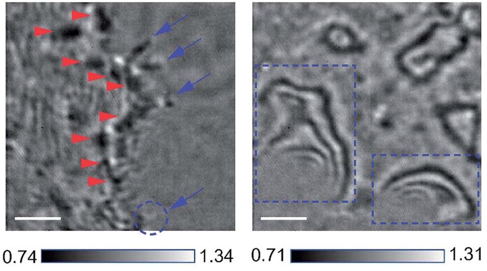 연구진은 간섭산란현미경(오른쪽)을 이용하면 광학현미경(왼쪽)에 비해 세포 내외부 구조를 선명하게 관찰할 수 있음을 규명했다.(출처: Chemical Science)