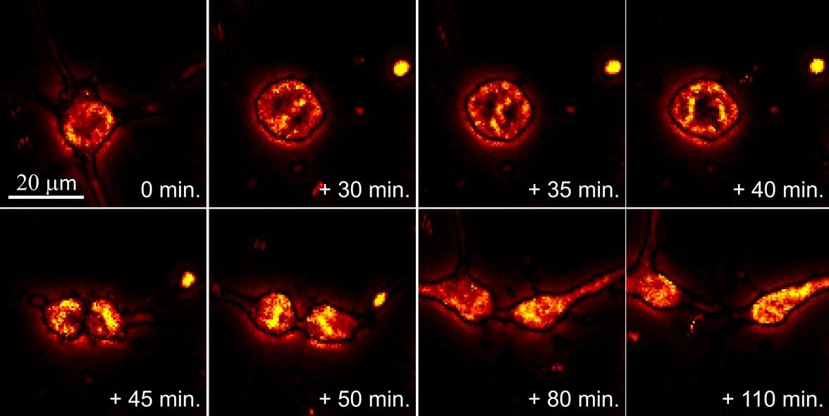 연구진이 개발한 광열현미경을 이용해 희돌기교세포의 분열과정을 5분 단위로 포착한 모습. (출처: Journal of Physical Chemistry Letters)
